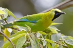 Blue-winged Leafbird2