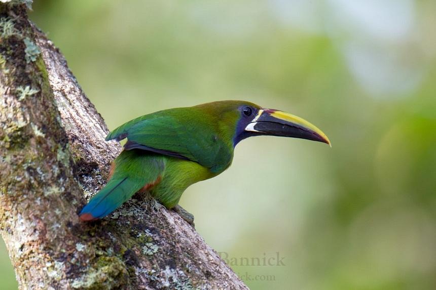 Emerald Toucanet Emerald Toucanet – A...