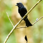 Greater Raquet-tailed Drongo