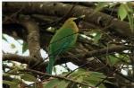 Blue-winged Leafbird