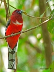 Red-headedTrogon