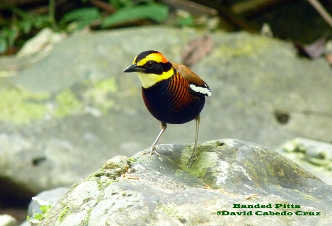 Banded Pitta Front