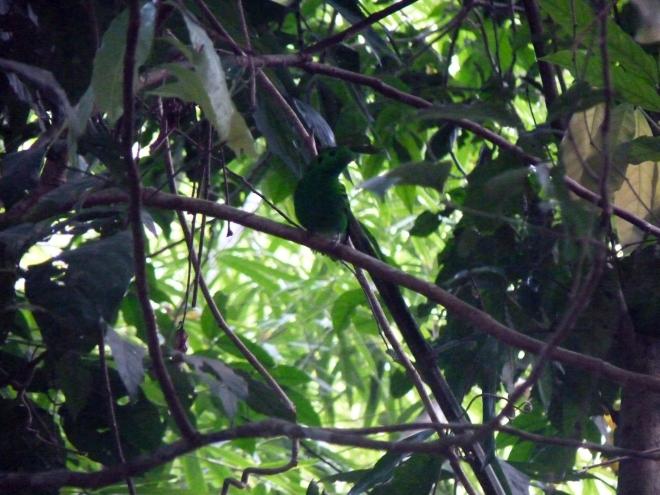 Green Broadbill 2