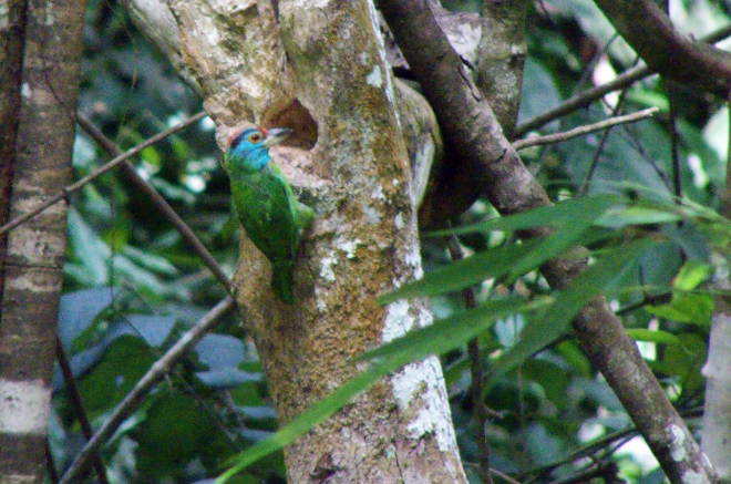 blue-throated3crop
